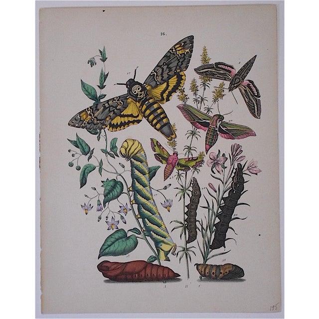 Antique Butterflies/Moths Chromolithograph - Image 2 of 3