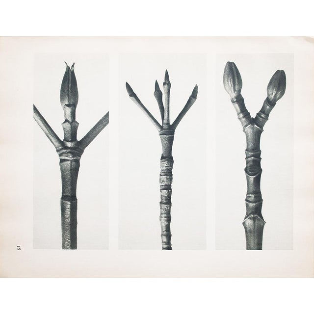 1935 Karl Blossfeldt Photogravure N15-16 For Sale In Dallas - Image 6 of 9