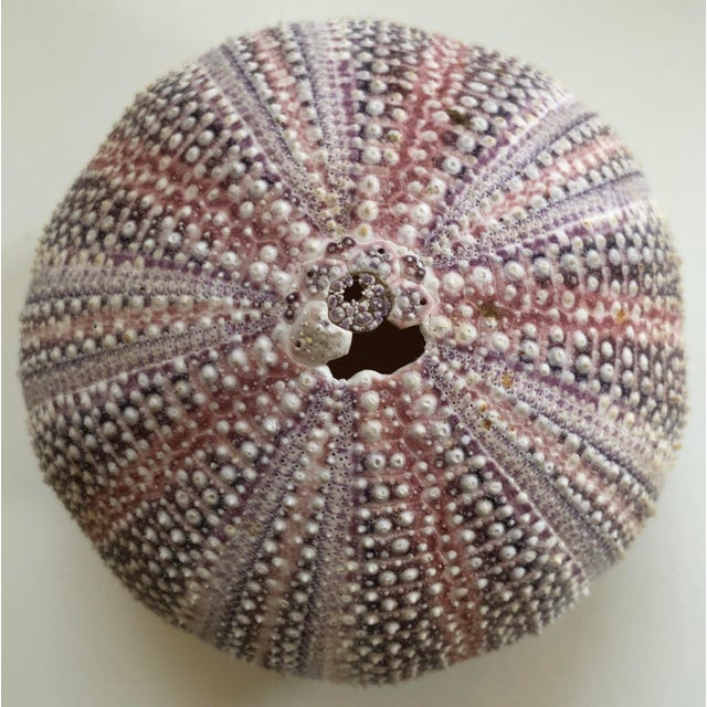 Lovely sea urchin shell in heavily textured surface with purples and pinks.