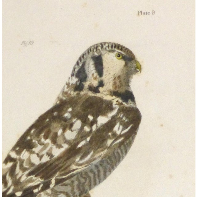 Antique Bird of Prey Engraving Print, C. 1850 - Image 2 of 4