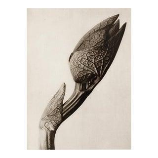 "1995 Karl Blossfeldt, ""Birthwort"" Original Poster For Sale"