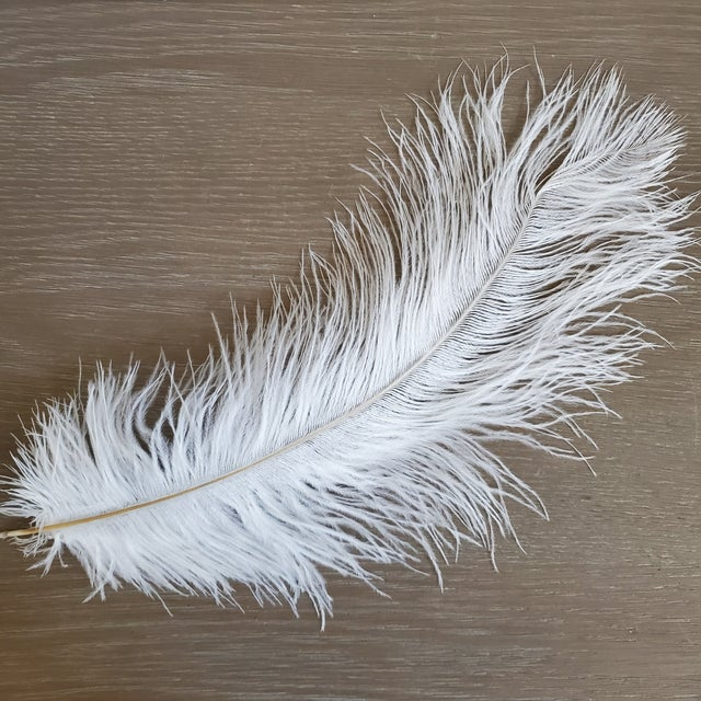 Naturally Shed White Ostrich Feathers, 25 Piece For Sale In Dallas - Image 6 of 7