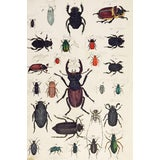Image of Hand Colored Insect Beetles Woodcut Print For Sale