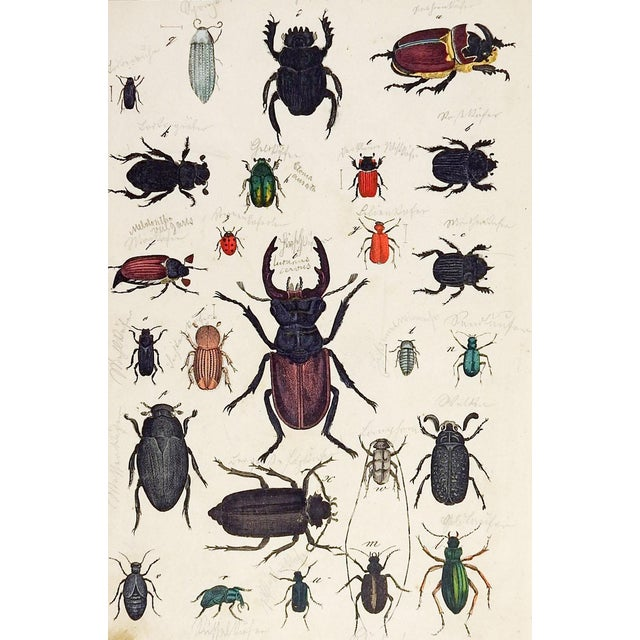 Hand Colored Insect Beetles Woodcut Print For Sale
