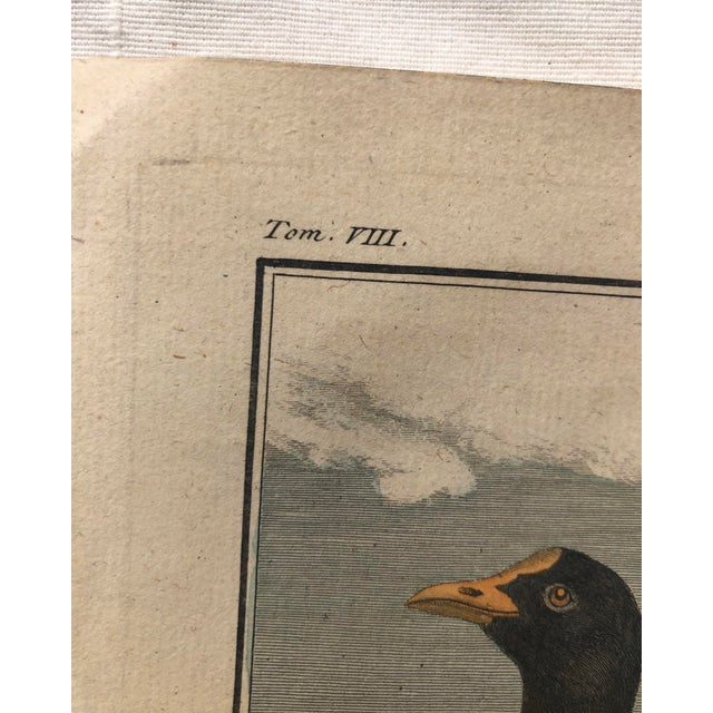 """An 18th century French engraving of an Eurasian Coot (AKA a Foulque) originally from the book """"A Natural History Of Birds""""..."""