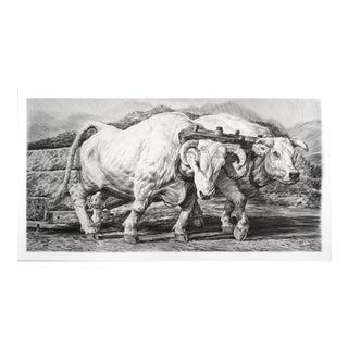 Oxen Print