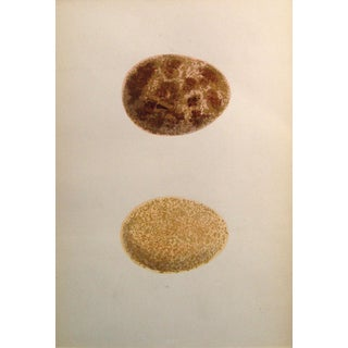 Brown Speckled Eggs Chromolithograph, C. 1900