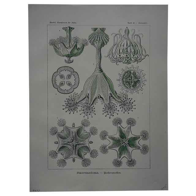 Sea Creatures Lithograph by Ernst Haeckel - Image 1 of 3