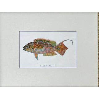 Vintage Hawaiian Fish Lithograph C.1920 Preview