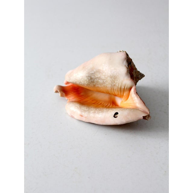 Vintage Natural Conch Shell For Sale - Image 6 of 7