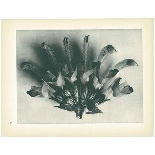1928 Karl Blossfeldt Original Period Photogravure N62 of Salvia Argentea For Sale