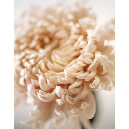 Chrysanthemum Polaroid print by Sandi Fellman - Image 1 of 3