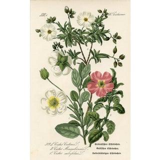 1886 Botanical Print - Rockrose