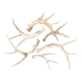 Natural Shed Antlers - Set of 6
