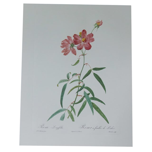 Vintage Botanical Print of a Pink Rose - Image 1 of 5