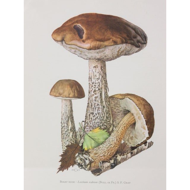 Appearing under birch trees, this summer and autumn bolete is an edible mushroom in the family Boletaceae, and was...
