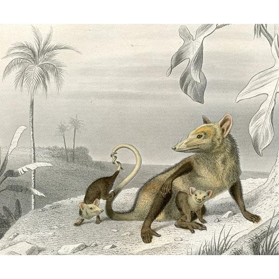 Original hand colored gravure print of a female Possum and her young from an 1880s French natural history folio of...