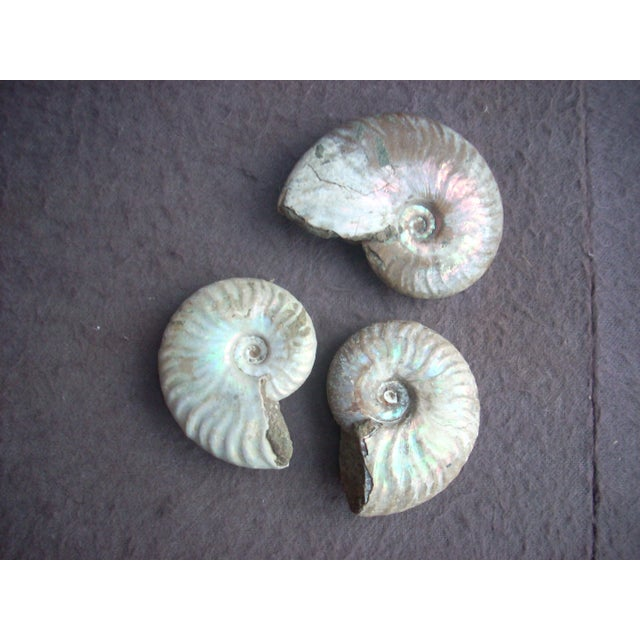 """Desmocerus ammonites from Africa; these are rather uncommon; beautiful """"opalescence """" specimens; makes a great display as..."""