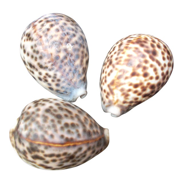Natural Cowrie Seashells - Set of 3 For Sale