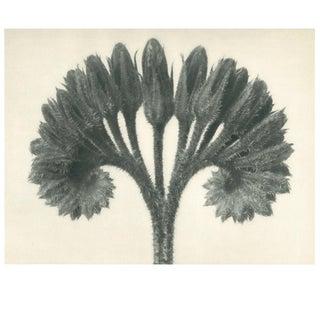 1928 Original Photogravure N89 of Cincinnus by Karl Blossfeldt For Sale