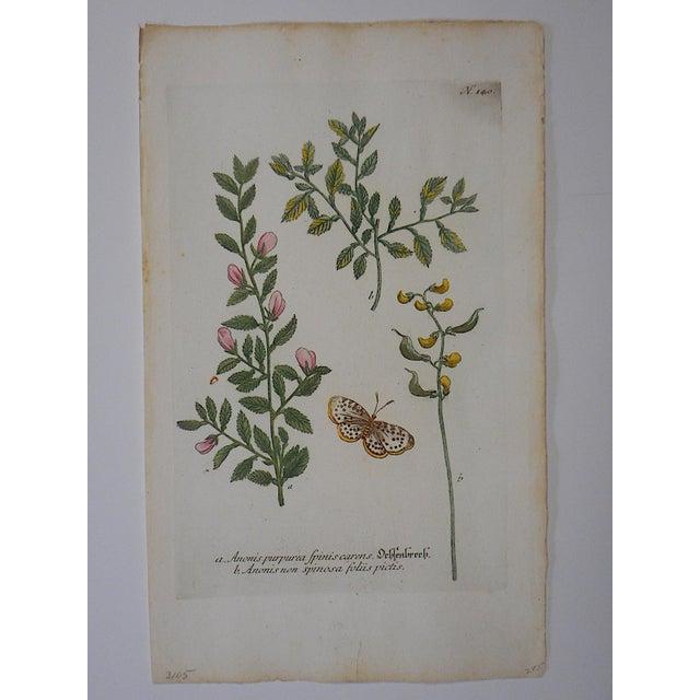Johann Weinmann Botanical Mezzotint C.1740-Folio Size - Image 2 of 3