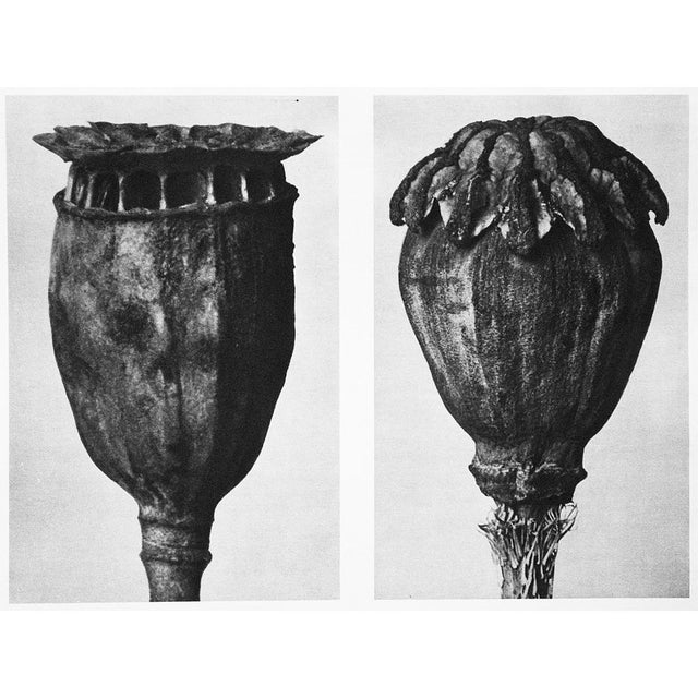 Contemporary 1935 Karl Blossfeldt Photogravure N89-90 For Sale - Image 3 of 9