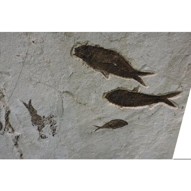 Art Deco Mass Mortality Fish Fossil Slab For Sale - Image 3 of 6