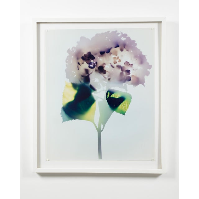 """Hydrangea"" photogram by Millie Falcaro Color art print in a white wooden frame under plexiglass (See also: BAT007, BAT008)."