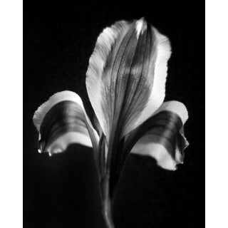 Botanical 37 Black Lily Photograph For Sale