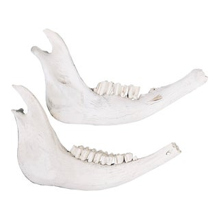 Antique Wild Horse Jaw Bones With Teeth - a Pair