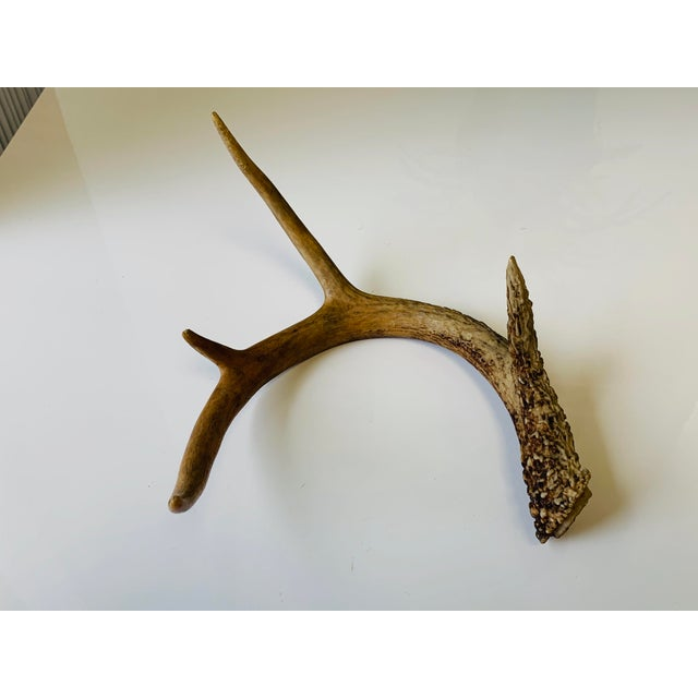 Antler Naturally Shed Deer Antlers - a Pair For Sale - Image 7 of 10