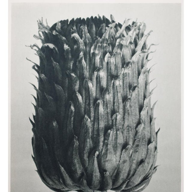 Blossfeldt Double Sided Photogravure - Image 3 of 11