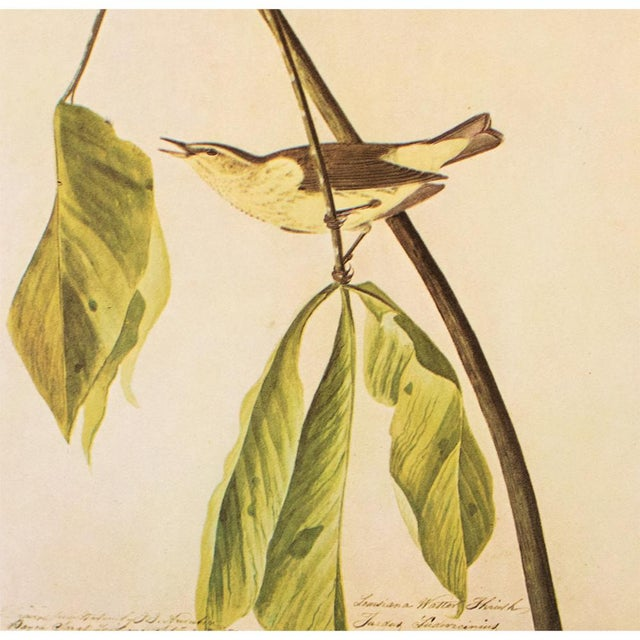 1960s 1960s Vintage Louisiana Water Thrush Cottage Print by Audubon For Sale - Image 5 of 8