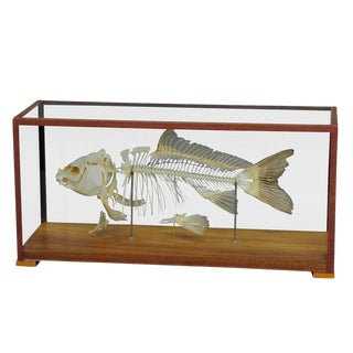 Vintage Carp Skeleton Model For Class Circa 1950 For Sale