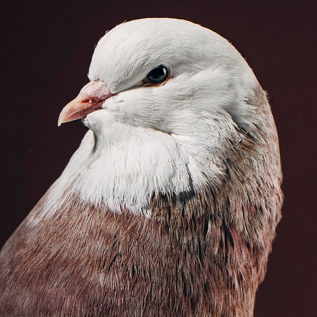 "Contemporary Contemporary Limited Edition Baldhead Roller Pigeon Print by Brendan Burden (40x50"") For Sale - Image 3 of 3"