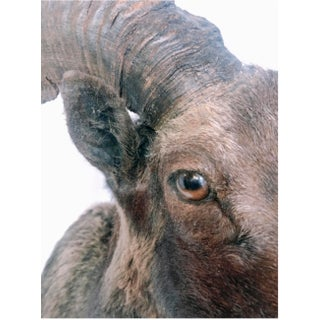 Vintage Taxidermy Mountain Ram Preview