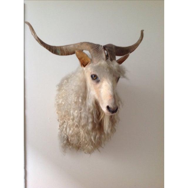 Angora Sheep Taxidermy Mount - Image 2 of 3