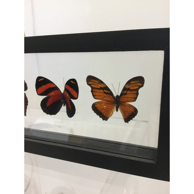 Butterfly Specimen in Shadow Box Frame For Sale - Image 4 of 8