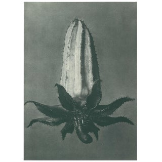1928 Original Photogravure N64 of Michaux's Bell-Flower by Karl Blossfeldt For Sale