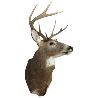 Eight-Point Deer Head Antler Taxidermy Mount For Sale
