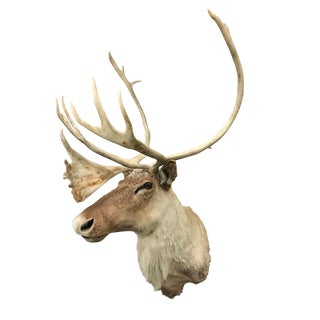 20th Century North American Caribou Mount For Sale