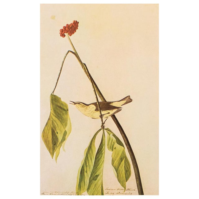 A lovely large vintage reproduction of the original lithographic print of Louisiana Water Thrush by John James Audubon...