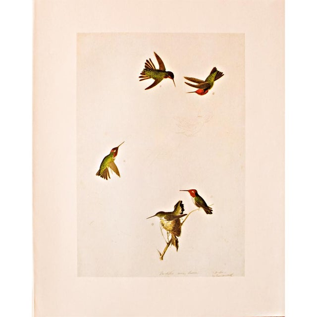 Tan Anna's Hummingbird by John James Audubon, 1966 Vintage Print For Sale - Image 8 of 8