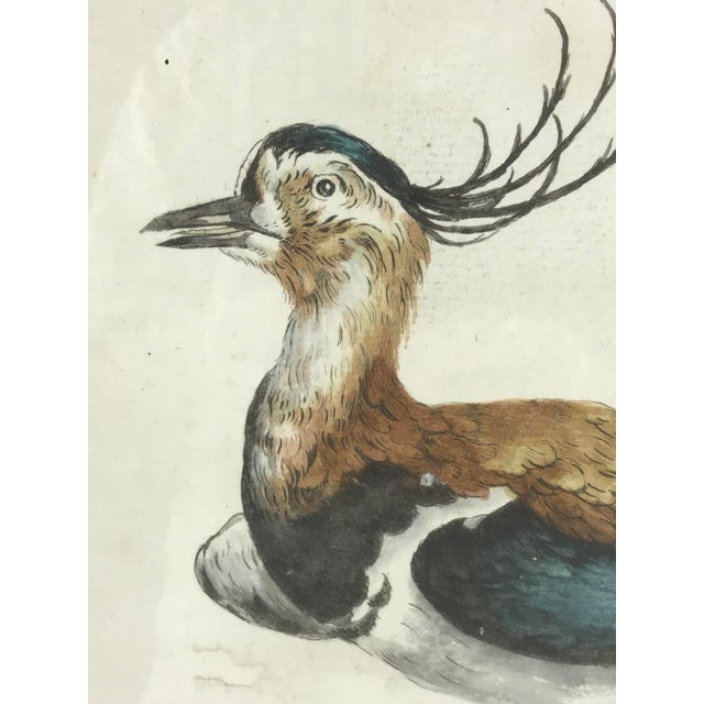 Late 18th Century Northern Lapwing Bird Print Hand Colored Engraving by Saverio Manetti For Sale - Image 4 of 5