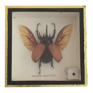 Insect Taxidermy Shadowbox For Sale