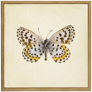 """Moth Print 2 in Cream Distressed Shadowbox - 13""""x13"""" For Sale"""