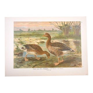 Antique Bird Lithograph, Water & Shore Birds For Sale