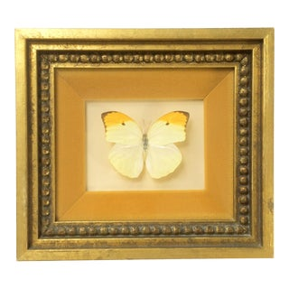 Yellow and Orange Brazilian Butterfly Specimen in Gilt Frame For Sale