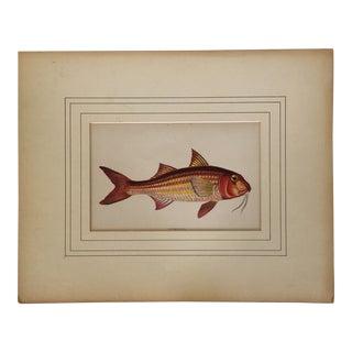 "1864 Engraved & Matted ""Surmullet"" Fish Print For Sale"