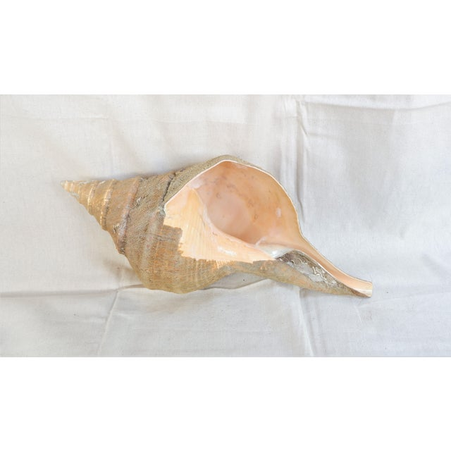 2010s Large Syrinx Aruanus Sea Shell With Natural Husk For Sale - Image 5 of 6